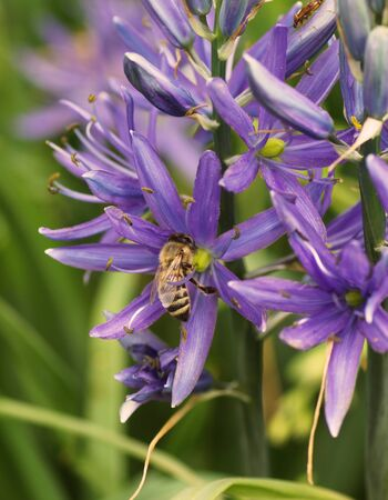 A bee sits on a blue flower in the garden in the garden. Close-up.