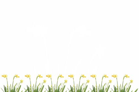 Yellow daffodils on the bottom of the frame. Place for text. Isolated on white.
