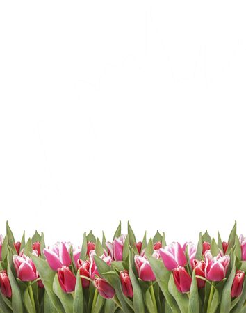 Pink tulips on the bottom of the frame. Isolated on white. Stock Photo