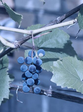 The branch of grapes growing in the garden. In blue. Close-up. Stock Photo