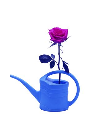 Pink rose placed in a plastic watering can. In blue. Isolated on white.