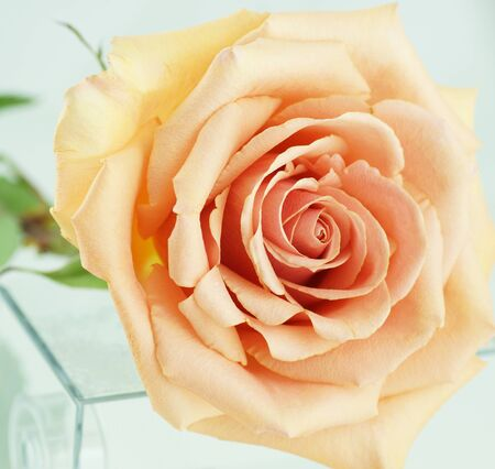 Peach rose on a white background. Close-up. Stock Photo