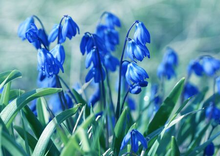 Blue flower on a green background.  Close up. In blue tone.