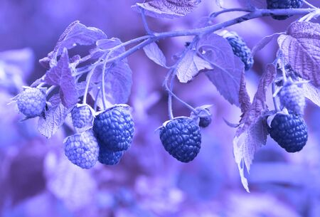 Raspberry on a bush in the garden. Blue tone. Macro.