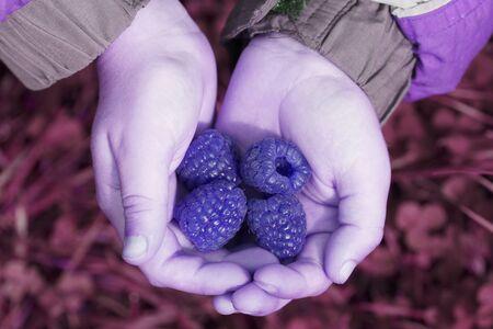 Children's hands holding raspberries. Blue tone. Close-up.