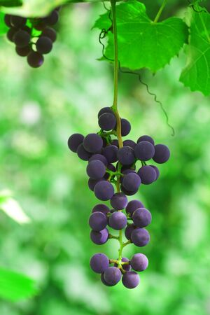 The branch of grapes growing in the garden. Close-up.