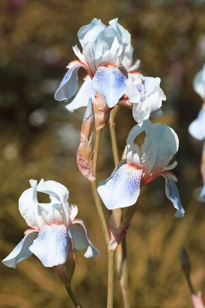 Iris flower in the garden. Blue. Close-up.