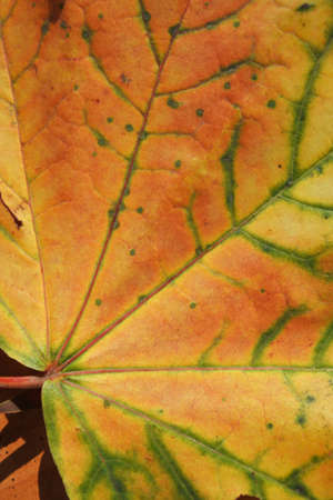 Part of a yellow maple leaf in autumn. Close-up. Macro.