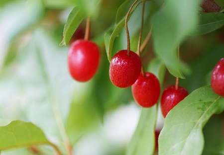Red berries on a bush branch. Close up.