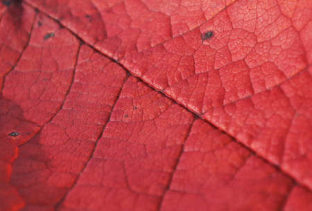 Red leaf from a tree in autumn. Texture. Macro. Stock Photo