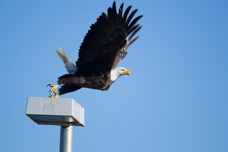 American bald eagle taking flight, shot in Naples, FL Stock Photo - 27435541