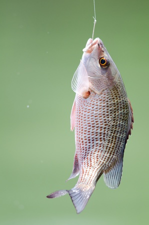 hooked: Snapper fish hooked on fishing line