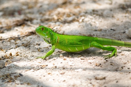 invasive species: Green iguana in the Florida Keys, known as an invasive species in the United States