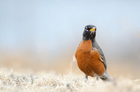 Front view of an American Robin. State bird of Michigan, Connecticut and Wisconsin.