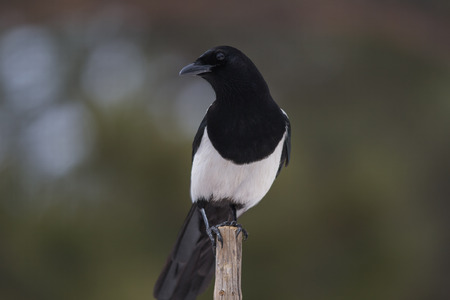 pica: Blackbilled Magpie perched on stick, Estes, Colorado