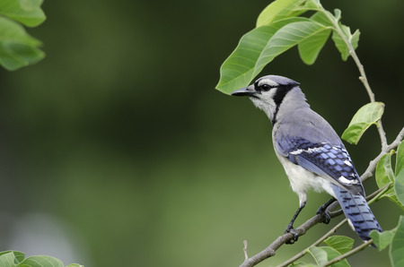 corvidae: Side view of Blue Jay, Fort Myers, Florida  Stock Photo