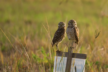 Two cute Burrowing Owls perched on wood sign, Cape Coral, Florida   photo