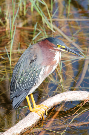 ciconiiformes: Green heron on tree branch in southwest Florida,  member of the Ardeidae family