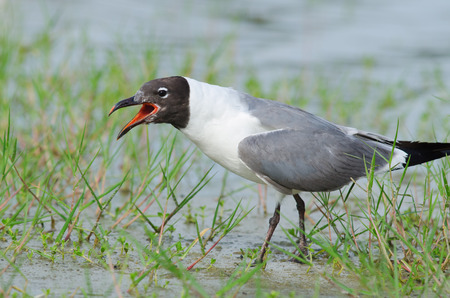 Laughing Gull in Florida