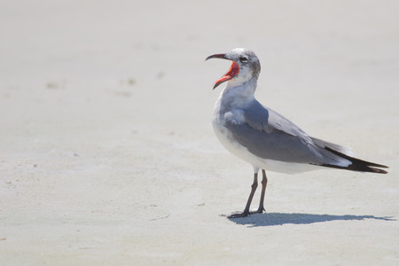 charadriiformes: Gull with mouth wide open and tongue sticking out  Stock Photo