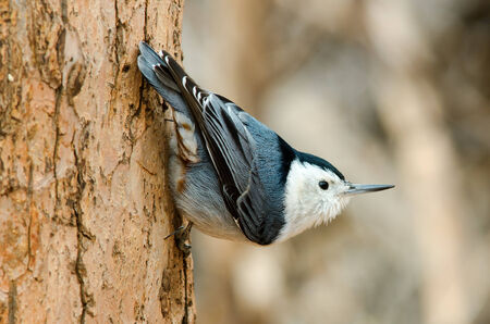 clinging: White-breasted Nuthatch clinging on a tree in Colorado Stock Photo