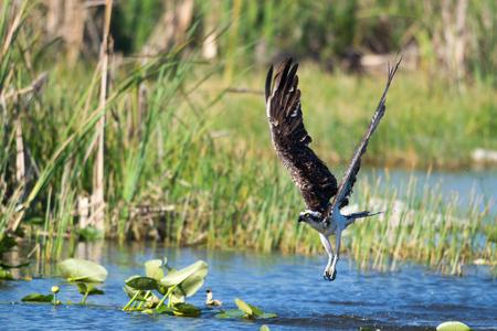 osprey: Osprey emerging from the water  Pandion haliaetus