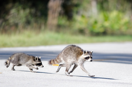 Mother Raccoon and kit crossing the road
