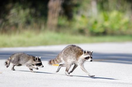 Mère de raton laveur et un kit de traverser la route Banque d'images - 27459797