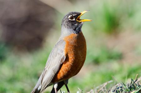 Het zingen van een lied De Amerikaanse Robin is de vogel van de staat Connecticut, Michigan en Wisconsin Stockfoto