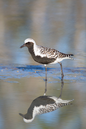 pluvialis: Black-bellied Plover (Pluvialis squatarola) water reflection, Fort Myers Beach, Florida.