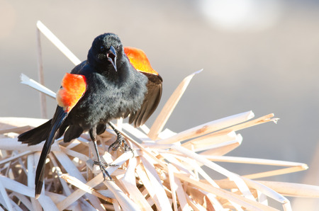 shrugged: Red-winged blackbird with mouth open and shoulders shrugged