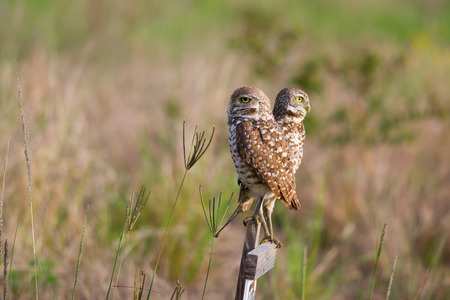 burrowing: Two cute Burrowing Owls perched on wood sign, Cape Coral, Florida.