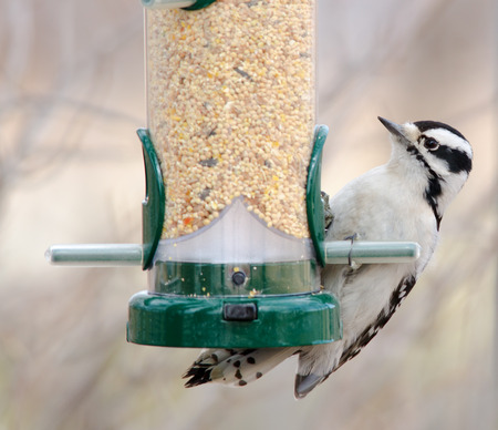 downy: Downy woodpecker at bird feeder, Barr Lake, Colorado