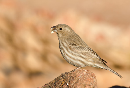 Female house finch eating seed at dawn