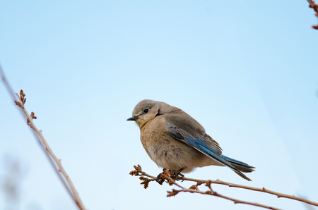 Female mountain bluebird perched on tree branch  State bird of Idaho and Nevada