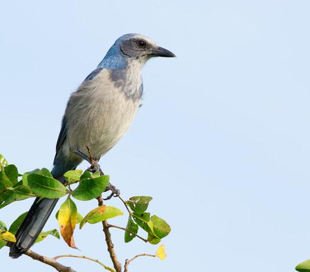 Wild Florida Scrub-Jay perched on tree branch