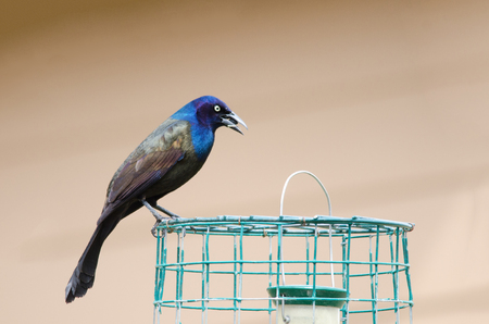 Male common grackle on bird feeder cage eating seed