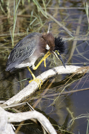 ciconiiformes: Green heron scratching its head, Fort Myers, Florida