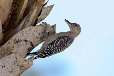 Young woodpecker  Melanerpes carolinus , Fort Myers, Florida  Banque d'images