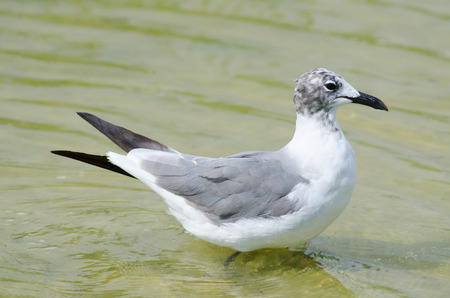 Laughing Gull Banque d'images