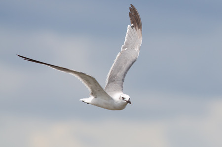 A non-breeding adult Laughing gull flying with blue sky background
