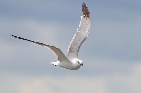 Een non-breeding volwassenen lachen zeemeeuw vliegen met blauwe hemel achtergrond