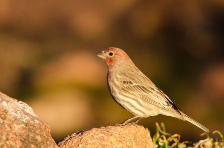 Male house finch standing on a rock Stock Photo