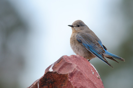 Mountain bluebird perched on stone  Official state bird of Idaho and Nevada