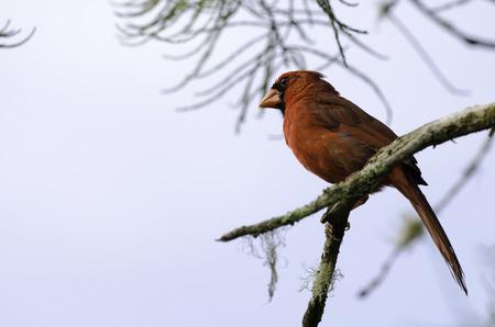 Northern Cardinal at Corkscrew Swamp Sanctuary, Naples, Florida