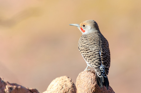 Northern Flicker  Red shafted  at Red Rocks Amplitheatre, Colorado