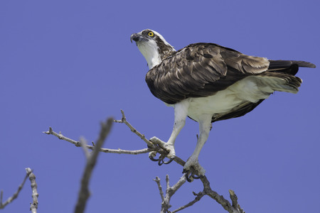 Osprey perched on a tree branch on Fort Myers Beach, Florida  Stock Photo