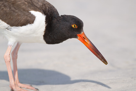 American Oyster Catcher on Fort Myers Beach, Florida, Estero Lagoon