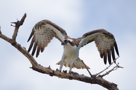 Osprey on tree branch  just after landing  Stock Photo
