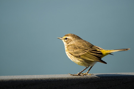Palm warbler sitting on boardwalk at Lakes Park, Fort Myers, Florida   Stock Photo
